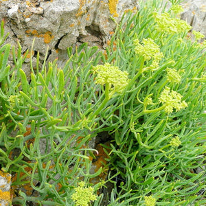 Seeds - Rock Samphire