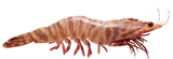 Skull Island Tiger Prawn (Green)