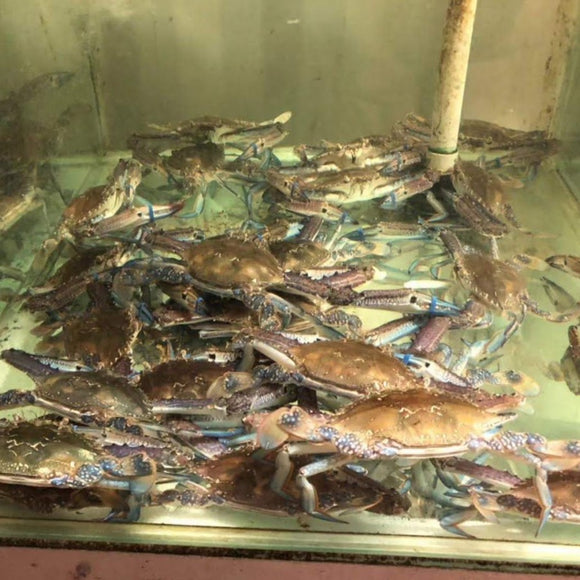 Live Male Blue Swimmer Crab (In-Basket)