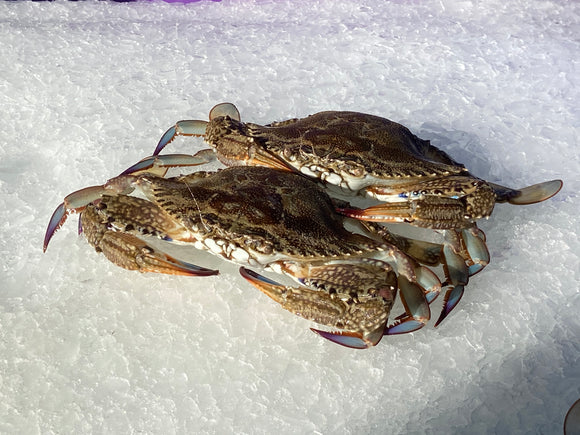Wild Caught Female Blue Swimmer Crab