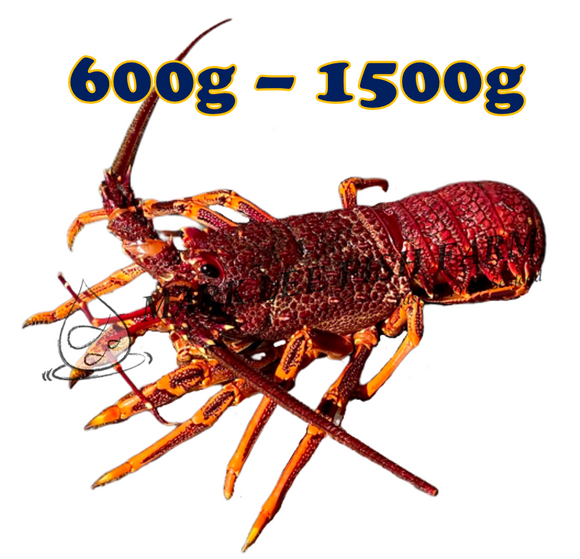 Wild Caught Southern Rock Lobster (600g-1500g)