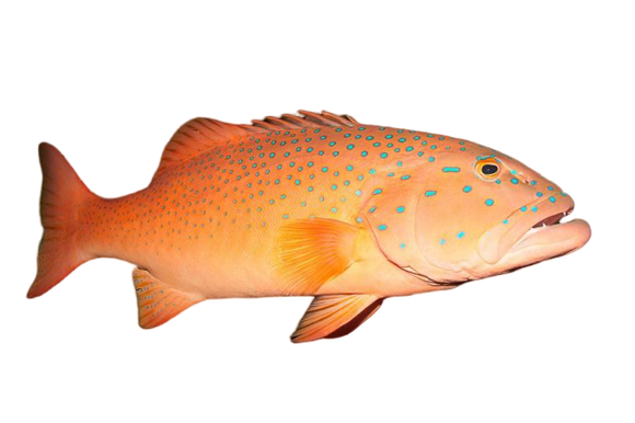 Wild Coral Trout