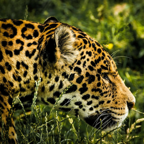 jaguar in protected areas of the amazon reforestation project from one tree planted