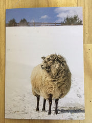 Holiday Photo Card Sheep