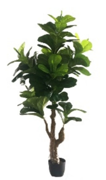 "Fiddle Fig ""Alii"" Tree  (5')"