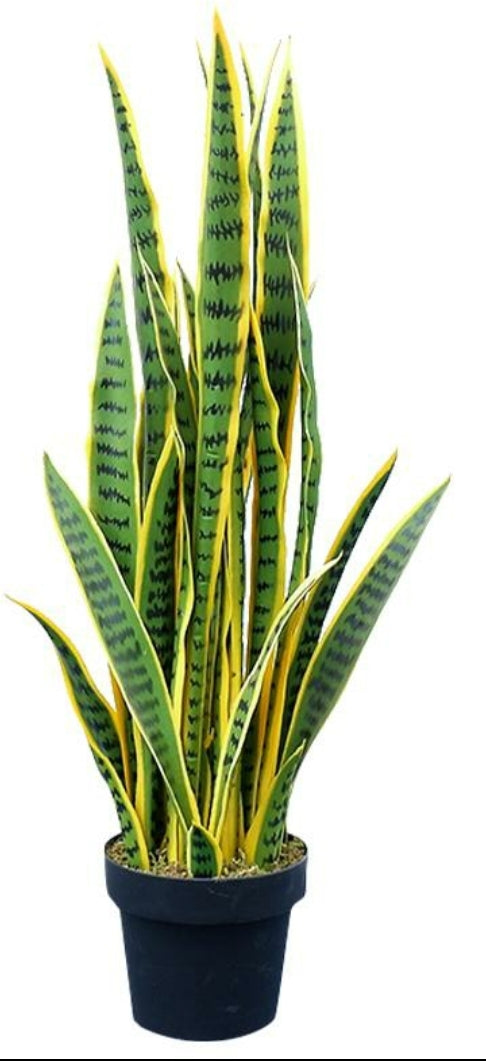 "Snake Plant ""Cylindrica"" (3'4"")"