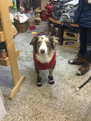 Aussie Natural dog boots worn by an Aussie dog