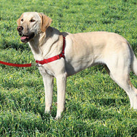 Dog wearing a PetSafe red dog harness