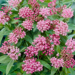 Flower, Asclepias, butterfly weed