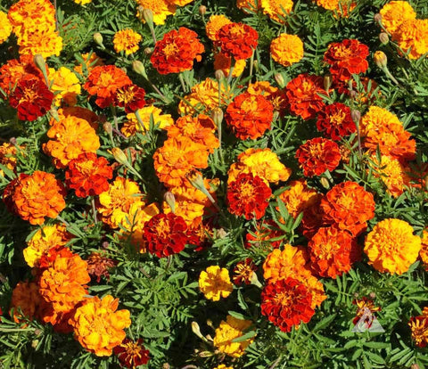 Flower, Marigold, Sparky French Mix