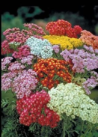 Flower, Yarrow, Colorado mix