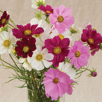 Flower, Cosmos, Versailles mix