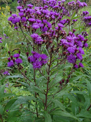 Flower, New York Ironweed