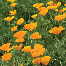 Flower, Poppy, California