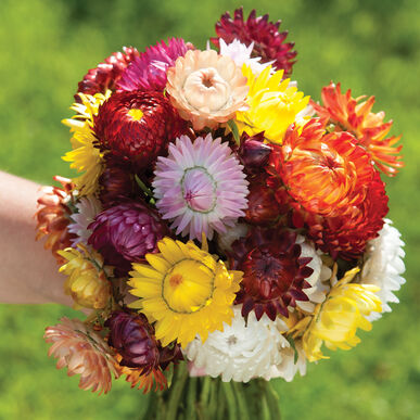 Flower, Strawflower, Sultane Mix