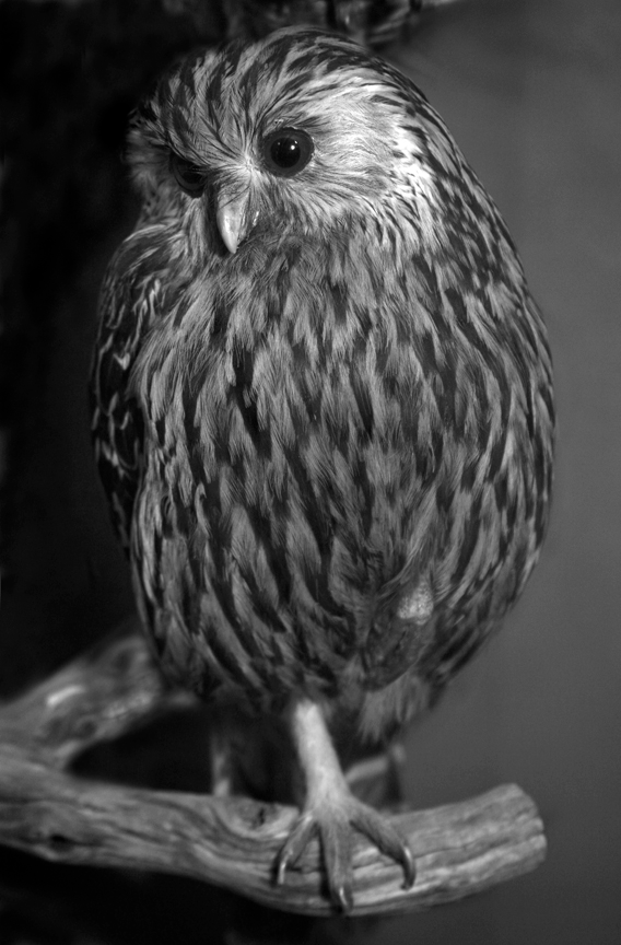 Chanty's Laughing Owl
