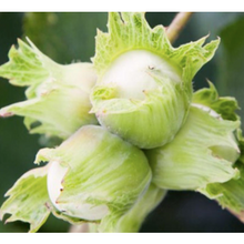Load image into Gallery viewer, Kent Cobnuts