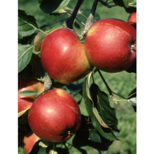 Load image into Gallery viewer, Crown Gold Apples
