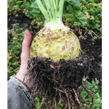 Load image into Gallery viewer, Kent Celeriac