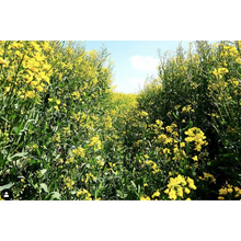 Load image into Gallery viewer, Duchess Oak Smoked Extra Virgin Cold-Pressed Rapeseed Oil