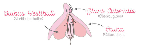 Anatomical Drawing of the Clitoris