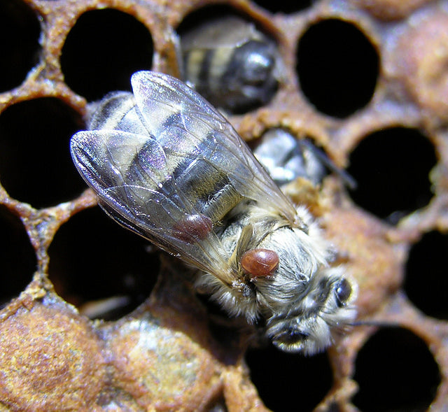 Varroa mite on honey bee. Source: Flickr