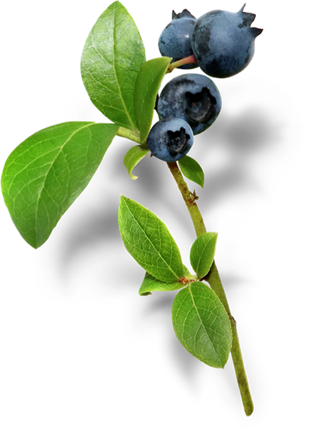 Wild Canadian Blueberry