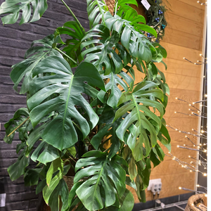 Philodendron Monsteria