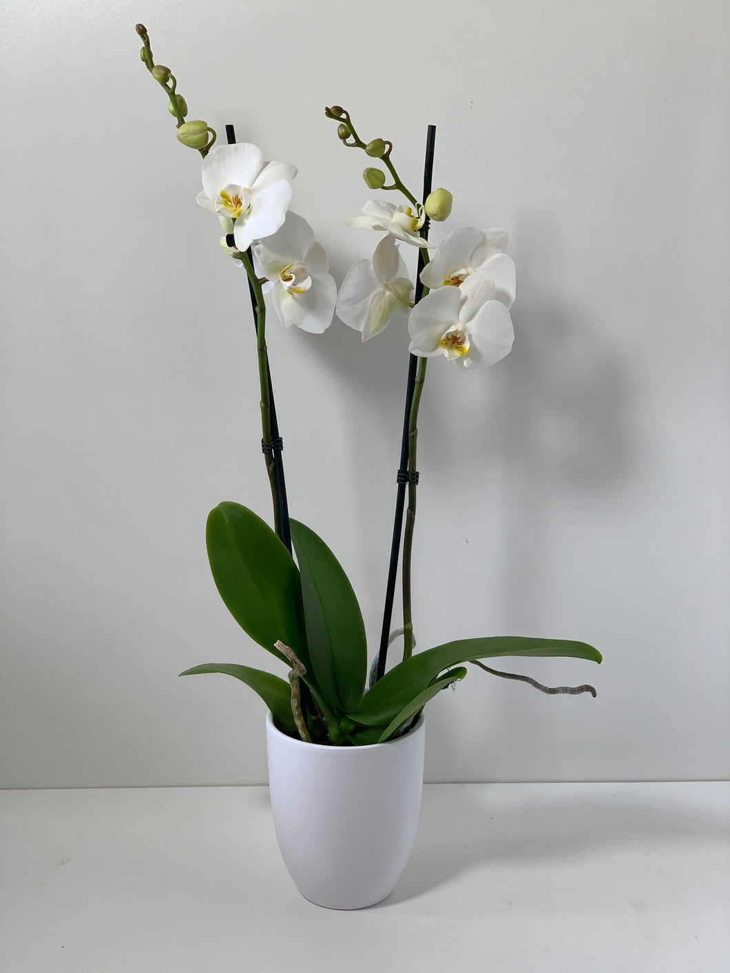 orchidee wit met pot
