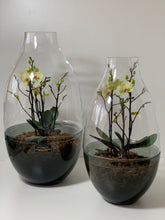 Afbeelding in Gallery-weergave laden, orchidee in terrarium (intratuin)