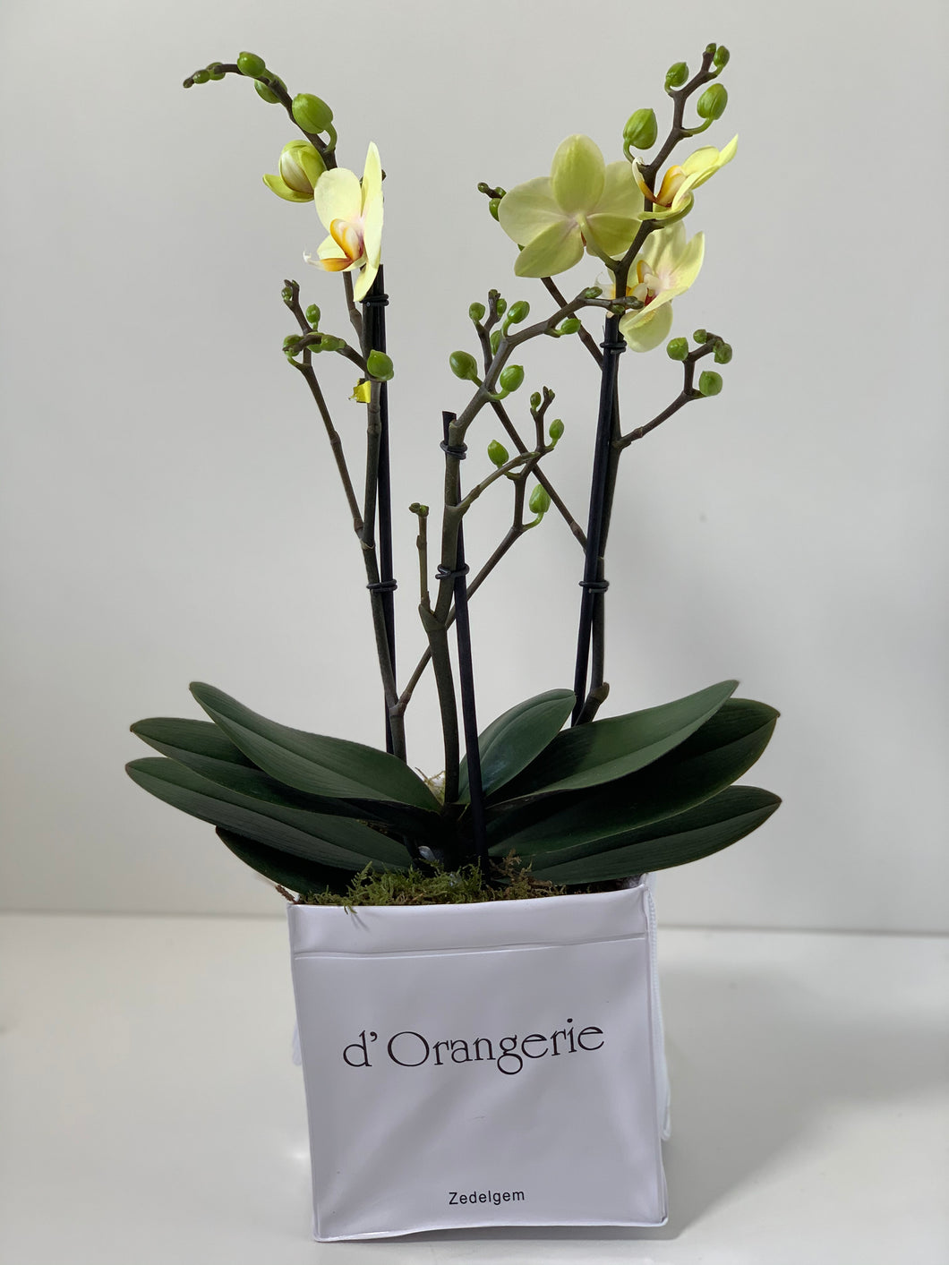 orchidee limon in waterdichte decotas