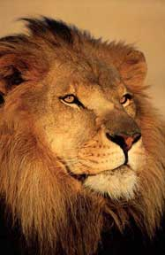Lion - Close Up 24In X 36In Poster