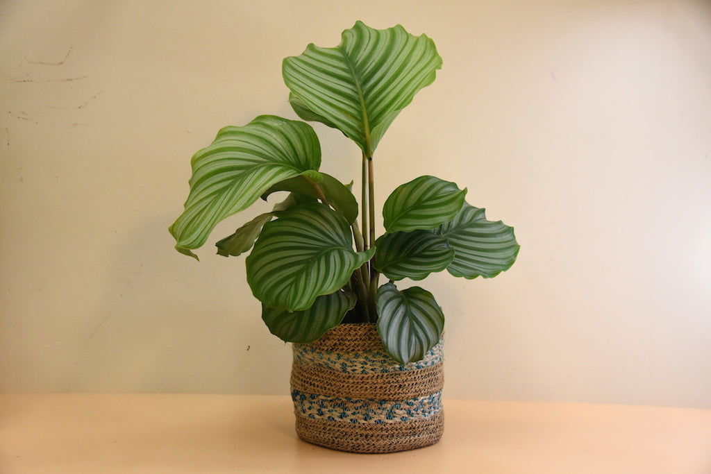 Prayer Plant | Calathea Orbifolia
