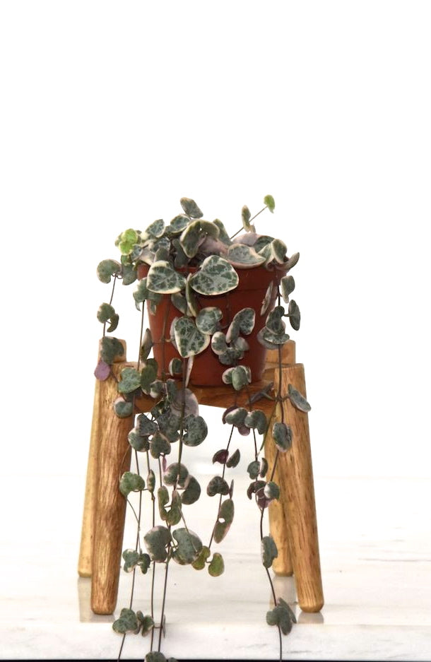 String of Hearts | Ceropegia Woodii