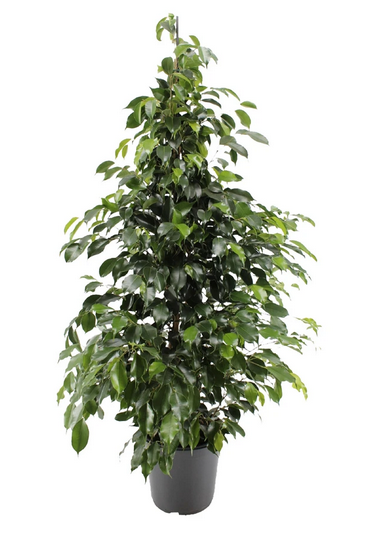 Weeping Fig | Ficus Benjamina