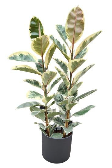 Rubber Plant | Ficus Elastica Three Stem
