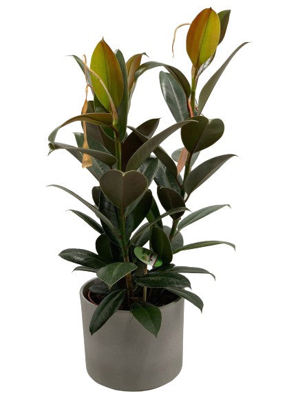 Ficus Elastica | Three Stem Rubber Plant