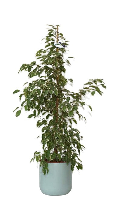 Weeping Fig | Variegated Ficus Benjamina