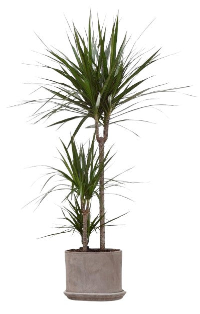 Dragon Tree | Dracaena Marginata