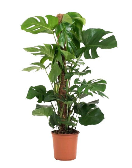 Swiss Cheese Plant on Moss Pole | Monstera Deliciosa