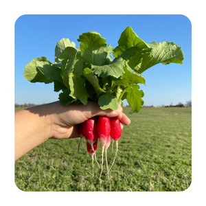 A bunch of french breakfast radishes being held up. The radishes are red, elongated with a white interior. Both the greens and the root are edible.