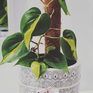 Philodendron Brasil Totem in Aztec Ceramic Pot
