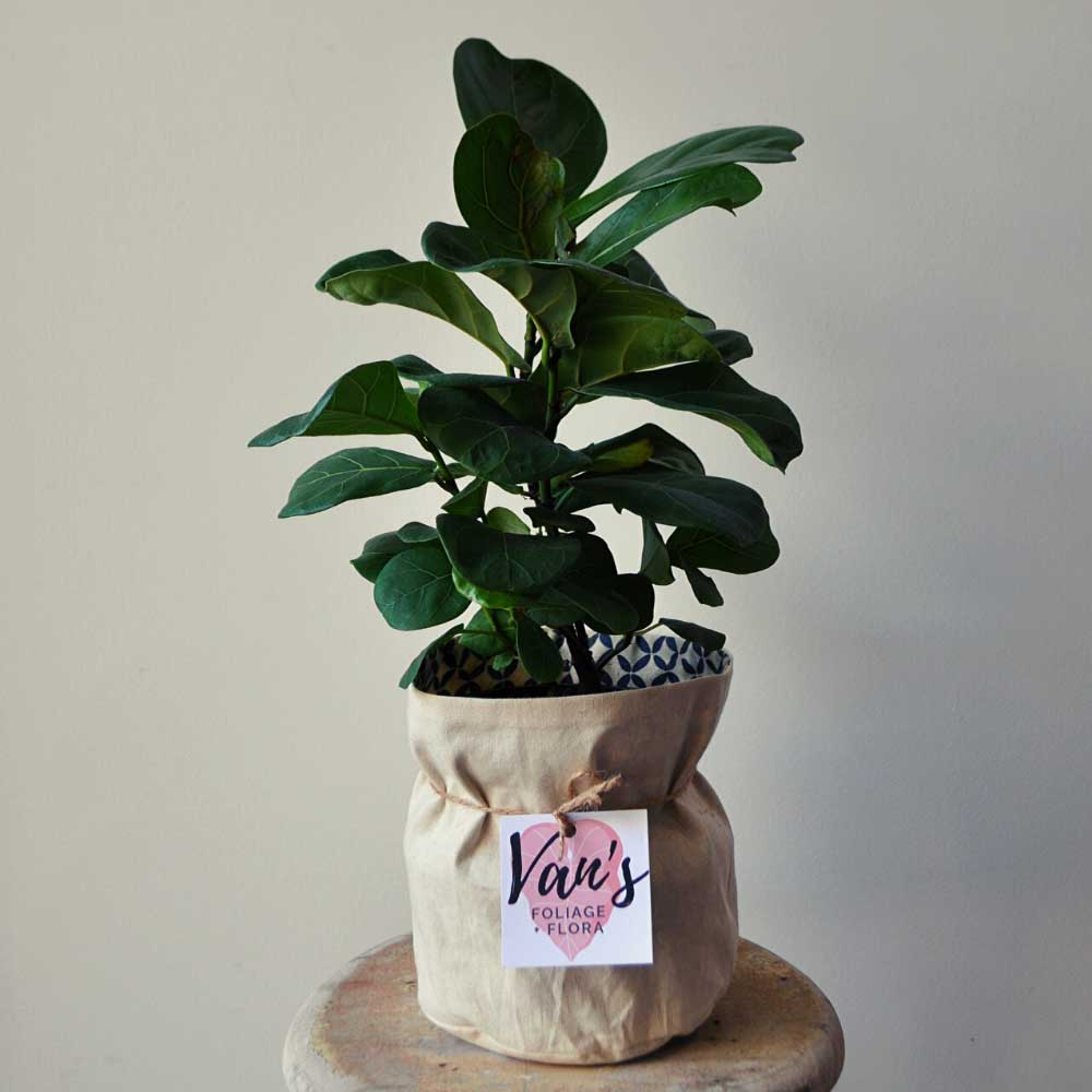 Small Fiddle Leaf Fig