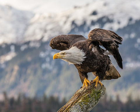 Bald Eagle (Photo by Andy Marffew)