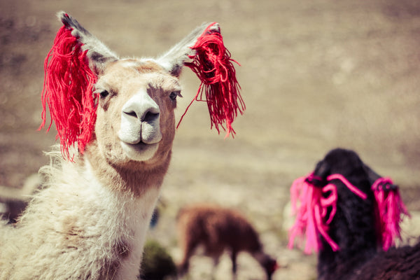 Be you, inspired by llamas in Peru