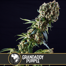 Load and play video in Gallery viewer, GRANDADDY PURPLE