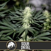 Load image into Gallery viewer, SOUR DIESEL