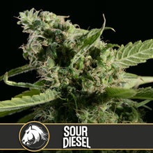 Load and play video in Gallery viewer, SOUR DIESEL