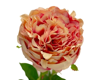 PEONY ROSE SOFT PINK - Simply Special Invercargill
