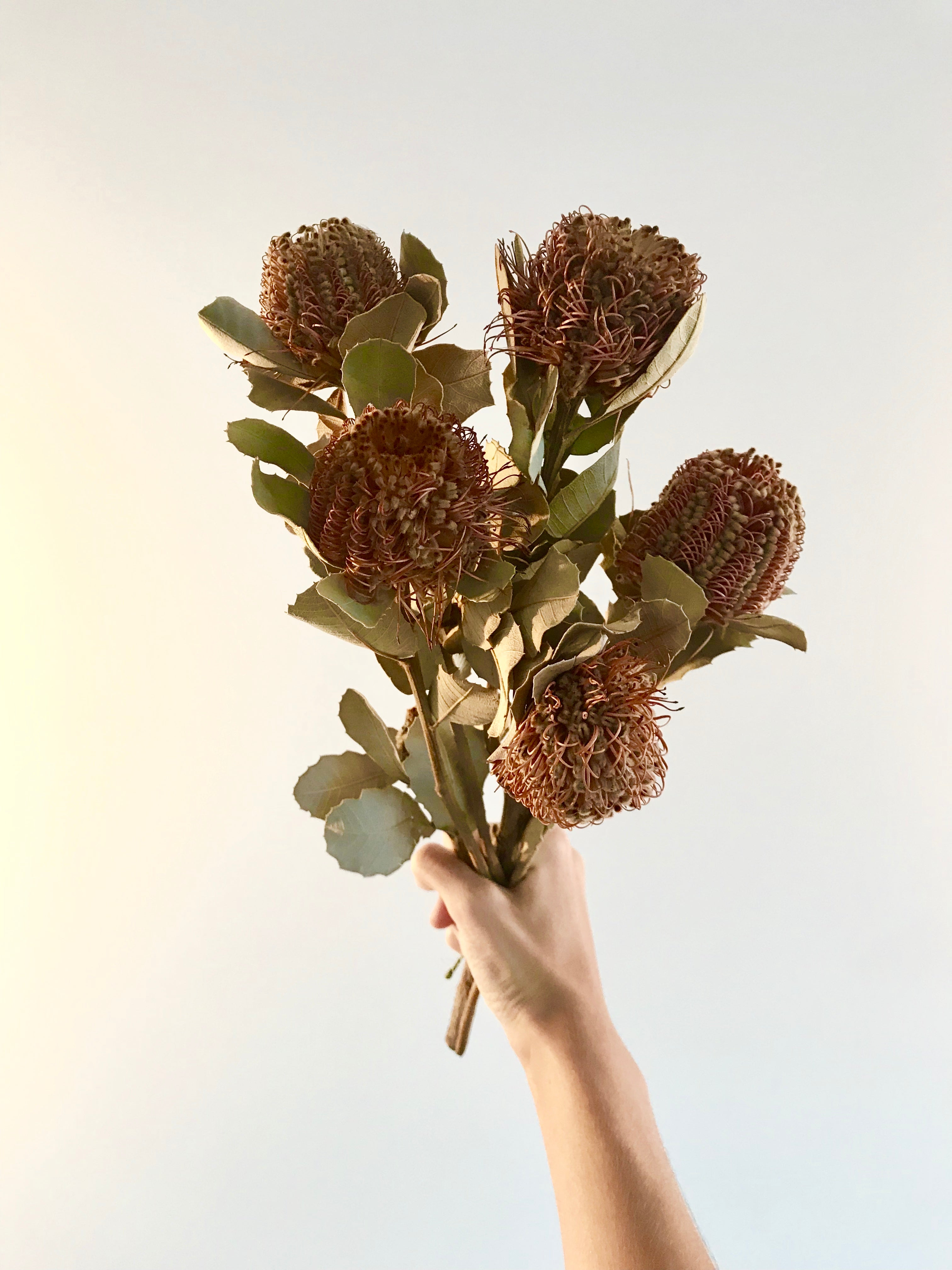 Bunch of Dried Banksias Coccinea